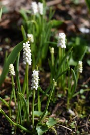 White grape hyacinth (Muscari botryoides Album)