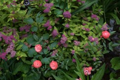 Rose 'Margo Koster' and Spirea 'Magic Carpet'