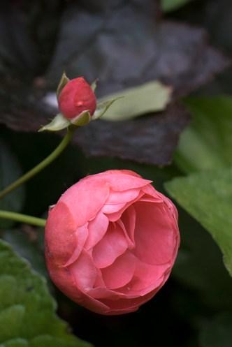 Rose 'Margo Koster'