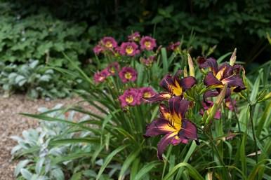 Daylillies 'Eggplant Ecstasy' and 'Velvet Shadows'