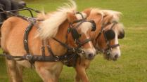 Our two driving ponies. Bumblebee and Honeybee