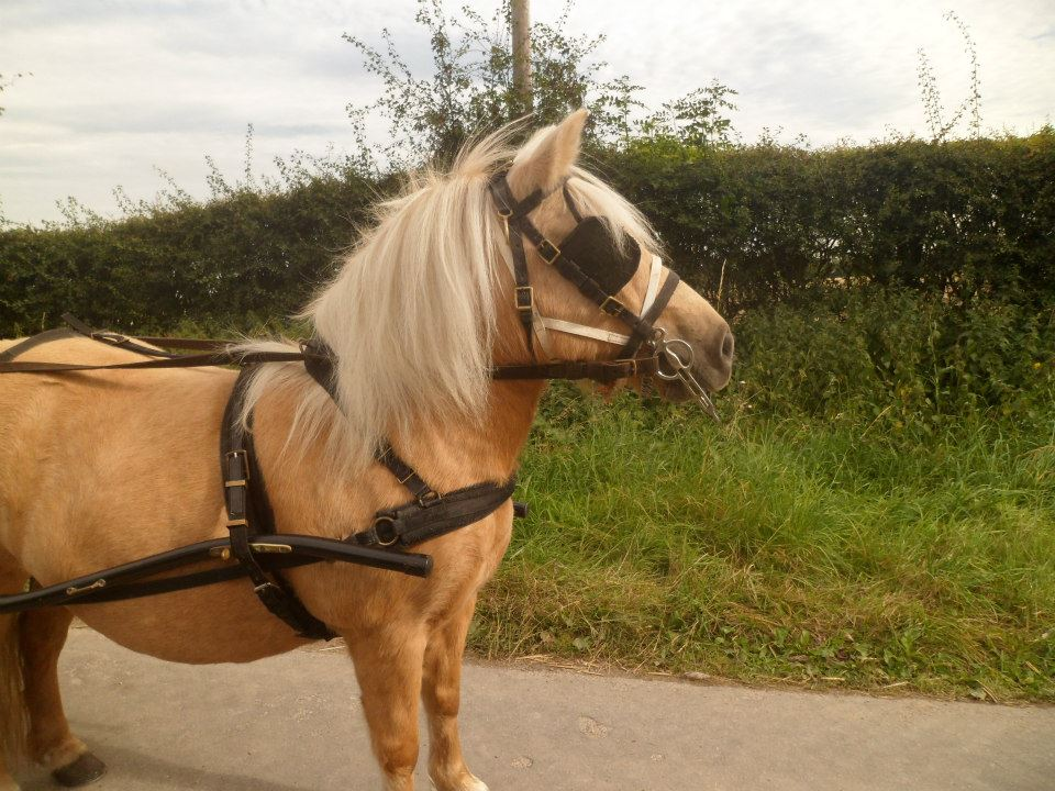 Five star forever home wanted for two experienced driving ponies. Palominos. Matching pair (5/5)