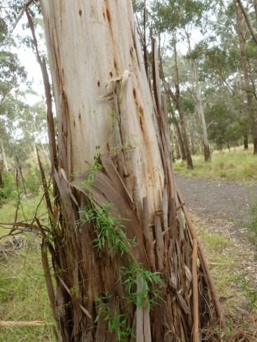 Gum tree shedding bark