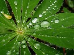 lady's mantle after rain
