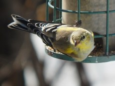 male goldfinch turning yellow