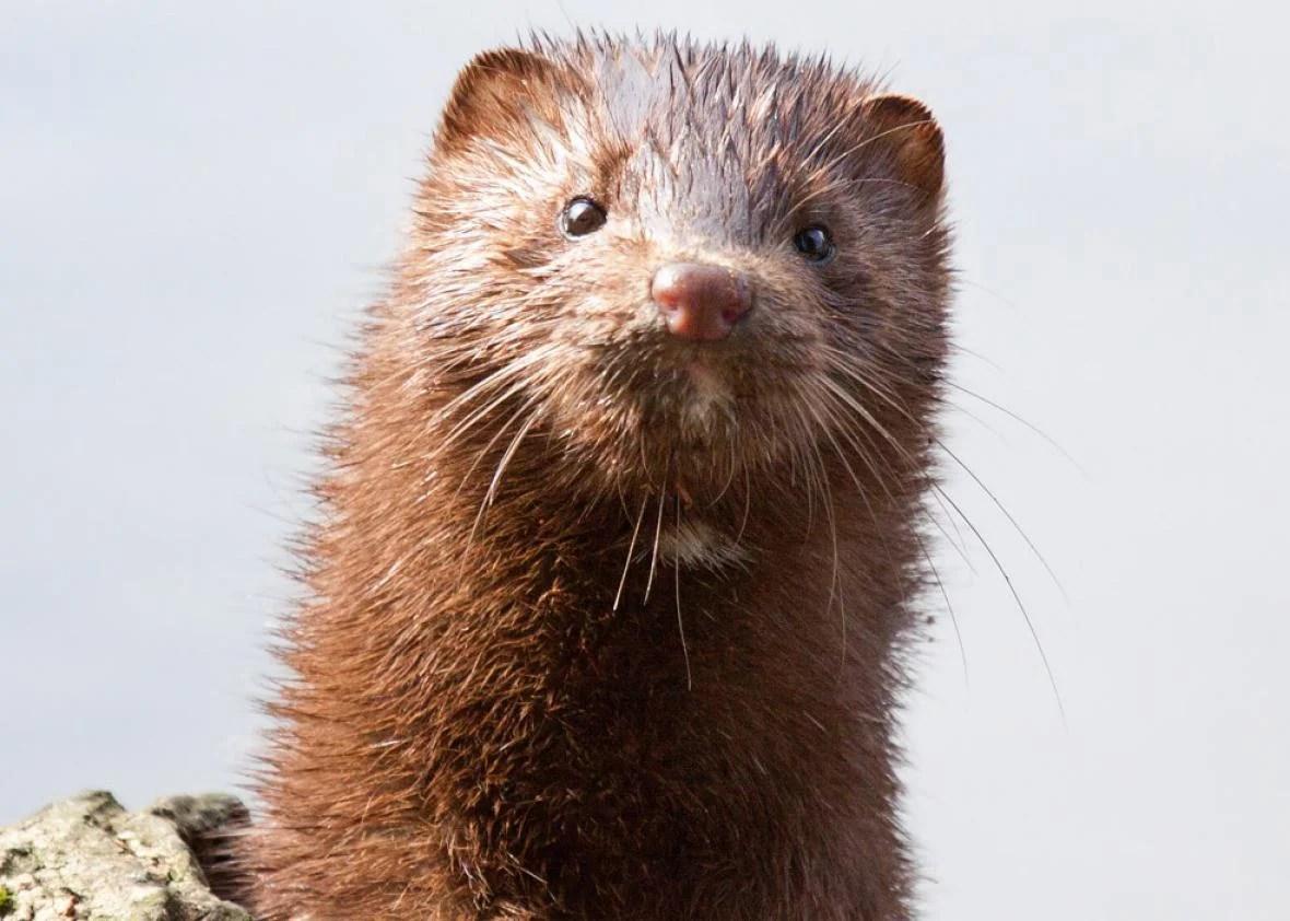 thousands of minks die