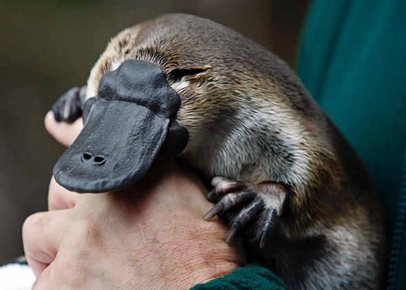 platypus venom painful immediate