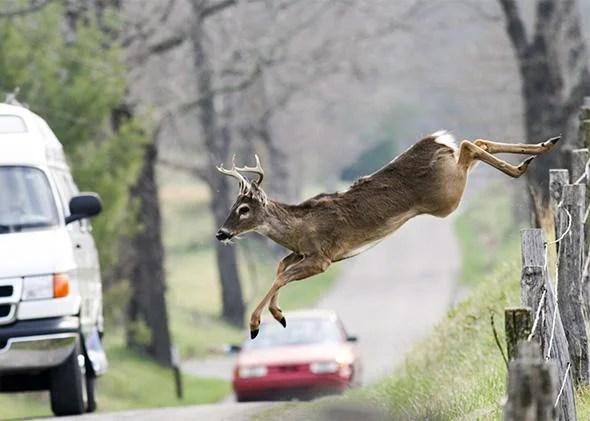 deer car crashes how