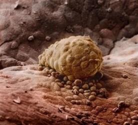 J 7 : l'embryon se fixe sur la paroi de l'utérus