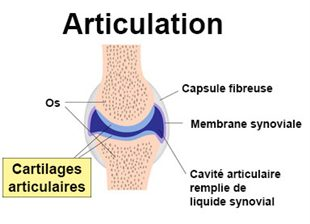 Anatomie d'une articulation synoviale
