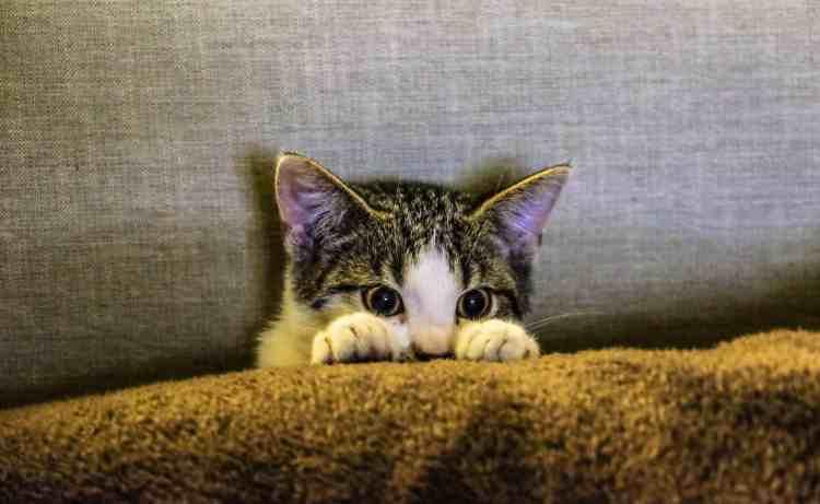 Chaton avec les pupilles dilatées - stress et mal de dos
