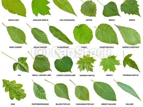 sträucher bilder mit namen blätter, grün, sammlung, bäume, namen