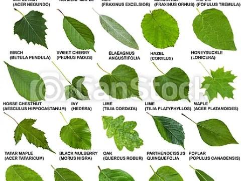 sträucher bilder mit namen blätter, grün, sträucher, bäume, namen