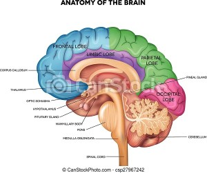 Human brain anatomy Human brain lobes, beautiful colorful