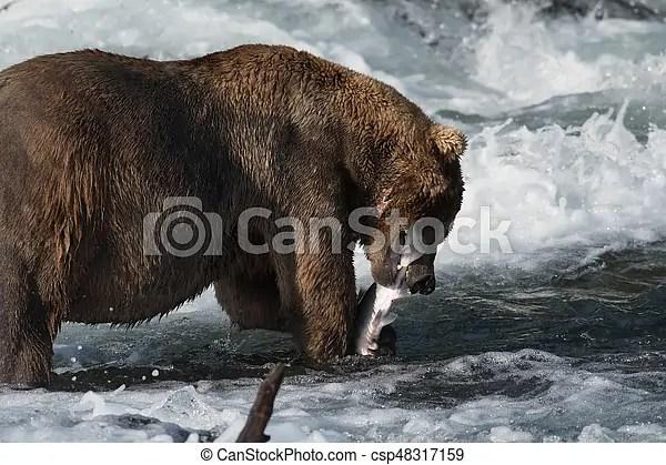 alaskan brown bear eating