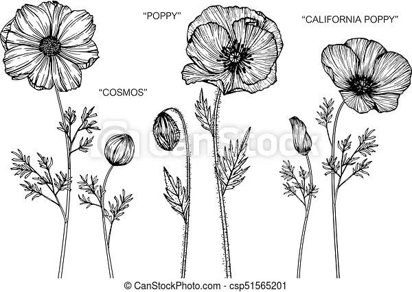 Cosmos, poppy, california poppy flower drawing.