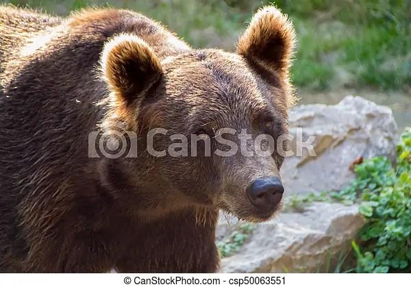 europian brown bear