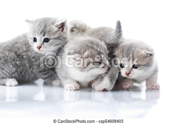 little grey kittens with