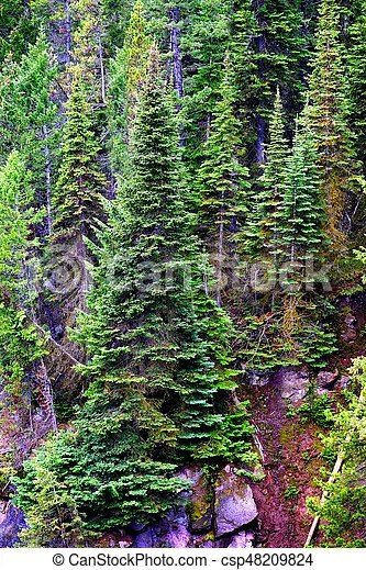 pine forest trees in