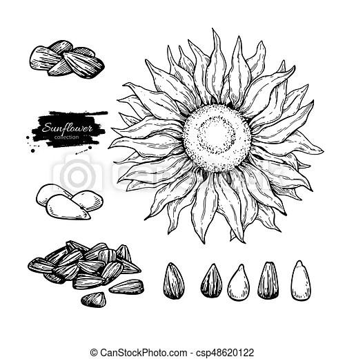 種子. 矢量. 手. 向日葵. 成分. 圖畫. 被隔離. 畫. 花. set.. 食物. sketch.. illustration. 設計. 包裝. 標簽. sketch.. 種子 ...