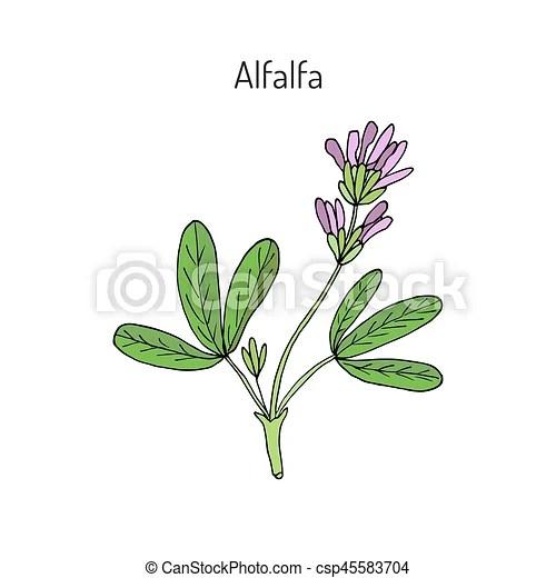 alfalfa medicago sativa . hand