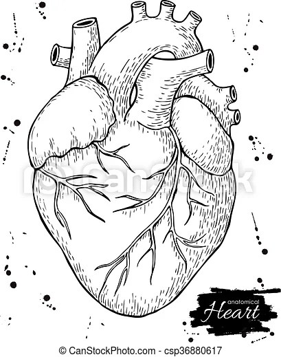 Detailed Heart Drawing : detailed, heart, drawing, Anatomical, Human, Heart., Engraved, Detailed, Illustration., Drawn., CanStock