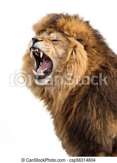 angry lion furious lion