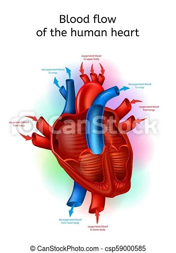 realistic heart diagram ps2 controller to usb wiring blood flow in human vector scheme csp59000585