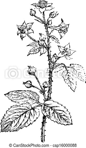 Bramble or blackberry, vintage engraving. Bramble or