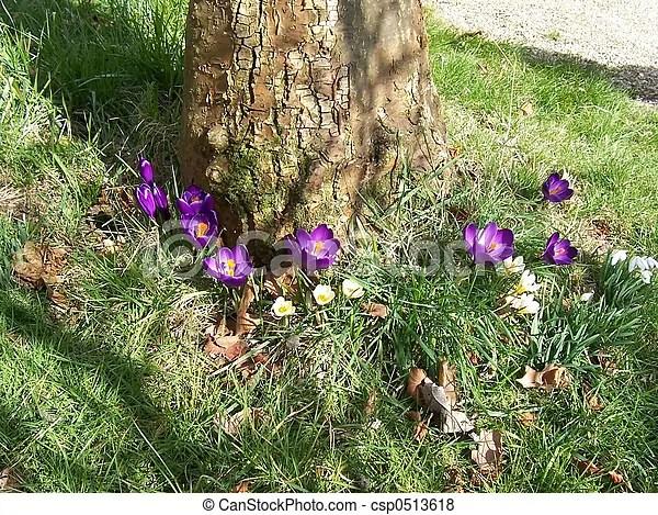 春天. 番紅花 - 紫色. 白色. 番紅花. 樹. 春天csp0513618 的照片 - 搜尋照片、圖片、攝影作品和美工照片