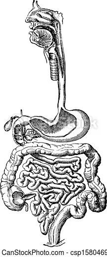 EPS Vectors of Human Digestive System, vintage engraving
