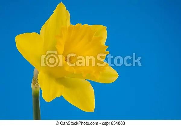 Yellow trumpet daffodil - csp1654883