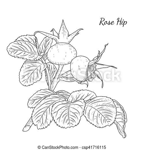 Vector Clip Art of Rose hip. Dog rose. Hawthorne. Wild