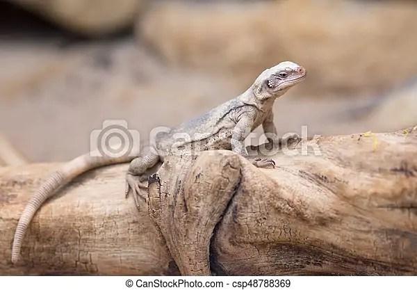 chuckwalla lizard on trunk