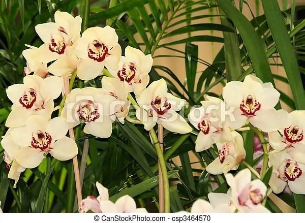 Cream cymbidium orchids. Spray of cream cymbidium orchids.