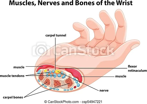 hand nerves diagram 2002 nissan xterra stereo wiring showing human with muscles and illustration csp54947221