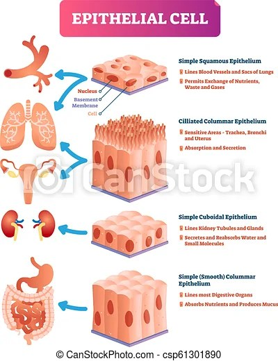 Epithelial cells vector illustration. medical location and meaning diagram. Epithelial cells vector illustration. medical and anatomical location ...