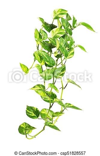 Hanging money plant on white. Golden pothos money plant isolated on white background.