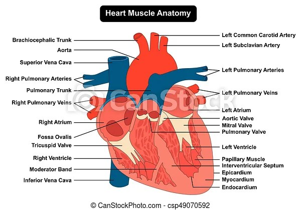 heart diagram inside car stereo wire human muscle structure anatomy infographic chart csp49070592