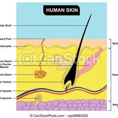 Skin Cross Section Diagram Johnson Controls Wiring Human Anatomy Csp48993422
