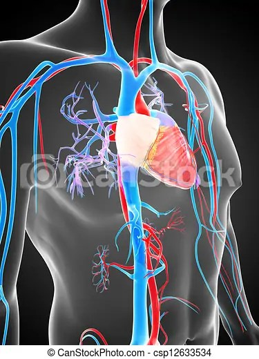 human vascular anatomy diagram jvc kd r330 wiring system 3d rendered illustration of the csp12633534