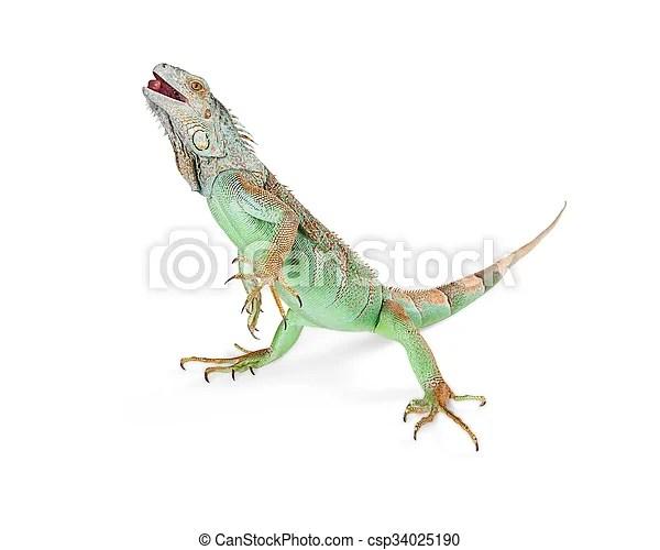 iguana standing on white