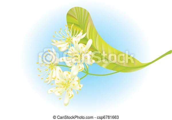 linden flowers. vector illustration
