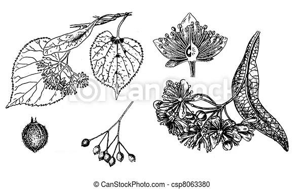 little-leaf linden small-leaved