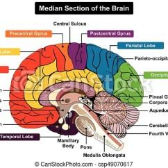 Brain Diagram Pons Miata Wiring Median Section Of Human Csp49070617