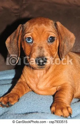 Blue Mini Dachshund : dachshund, Dachshund, Miniature, Smoothcoat, CanStock