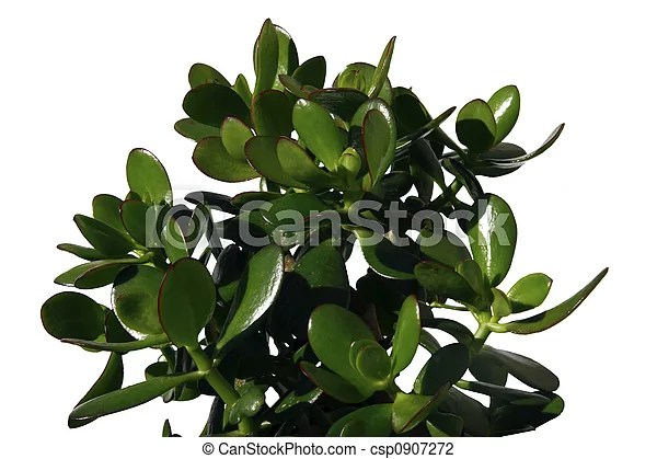 A money plant against a white background.