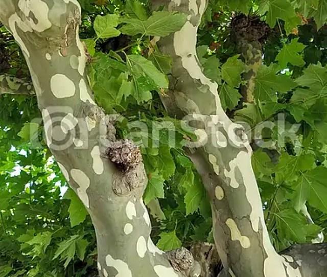 Mottled Bark On Sycamore Tree Trunk Csp49755412