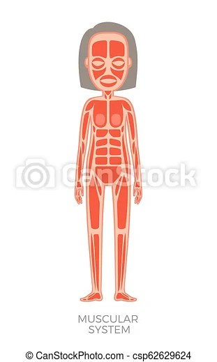 https www canstockphoto com muscular system of human body vector 62629624 html