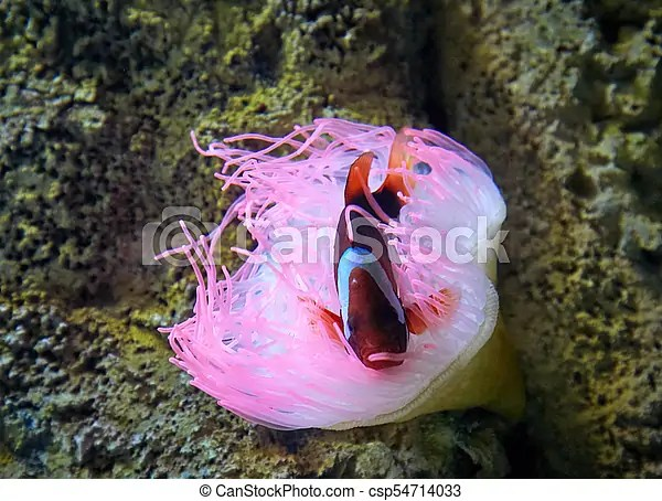pink sea anemone and